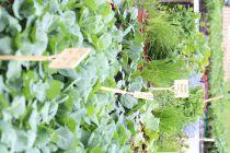 Plants de choux