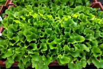Plants de salade