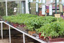 Plants de tomate, à-partir de :